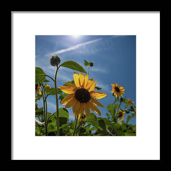 Nevada Framed Print featuring the photograph Sunflowers by Fred DeSousa