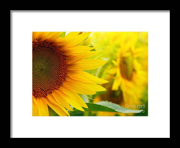 Pollen Framed Print featuring the photograph Sunflowers by Sj Travel Photo And Video