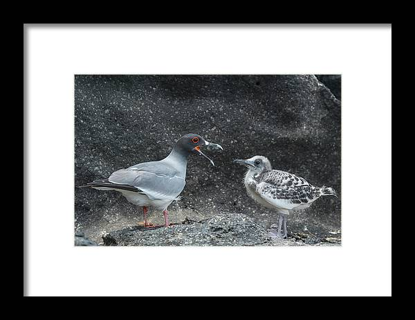 Animal Framed Print featuring the photograph Swallow-tailed Gull Calling Chick by Tui De Roy