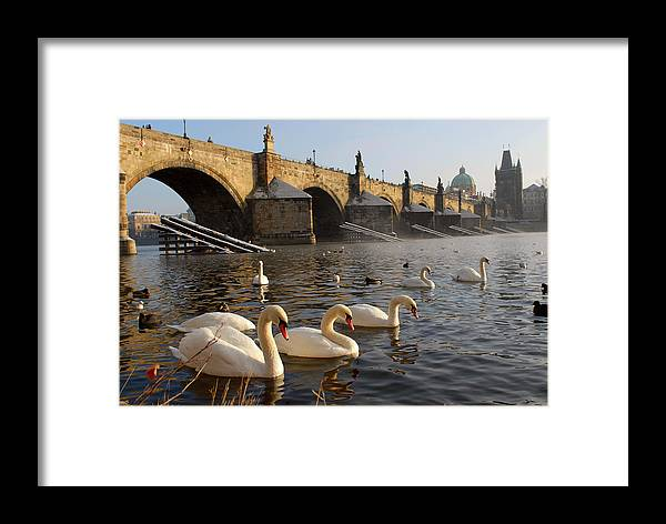 Arch Framed Print featuring the photograph Swans And Charles Bridge by Dibrova