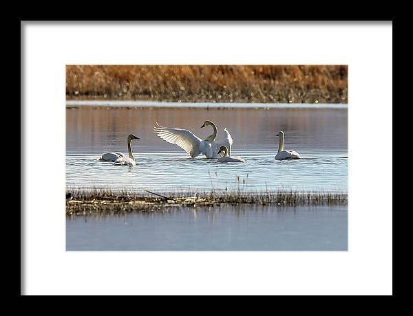 Swans by John T Humphrey