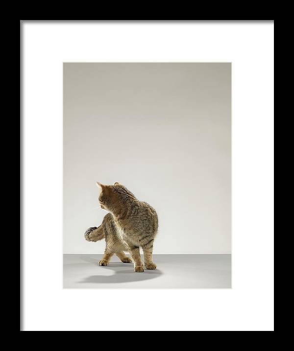 Pets Framed Print featuring the photograph Tabby Cat Looking Behind by Michael Blann