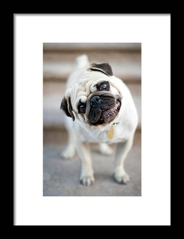 Pets Framed Print featuring the photograph Tan & Black Pug Dog Tilting Head by Alex Sotelo