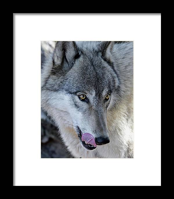 Wolf Framed Print featuring the photograph Tasty Wolf by Jeannee Gannuch