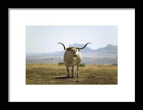 Horned Framed Print featuring the photograph Texas Longhorn by Joseph Sohm-visions Of America