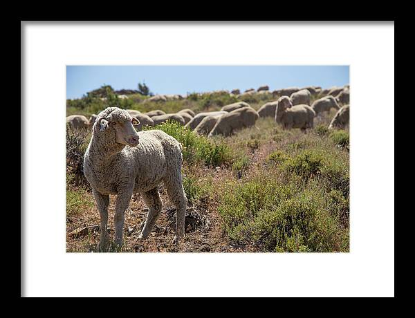 Sheep Framed Print featuring the photograph The Flock by Fred DeSousa