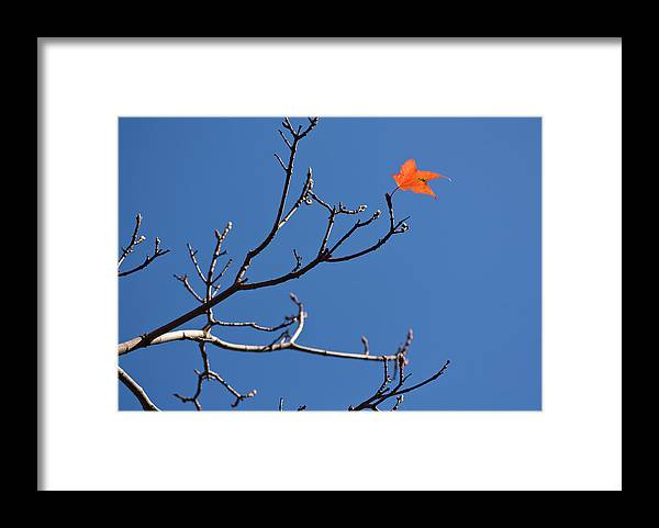 Clear Sky Framed Print featuring the photograph The Last Leaf During Fall by By Ken Ilio