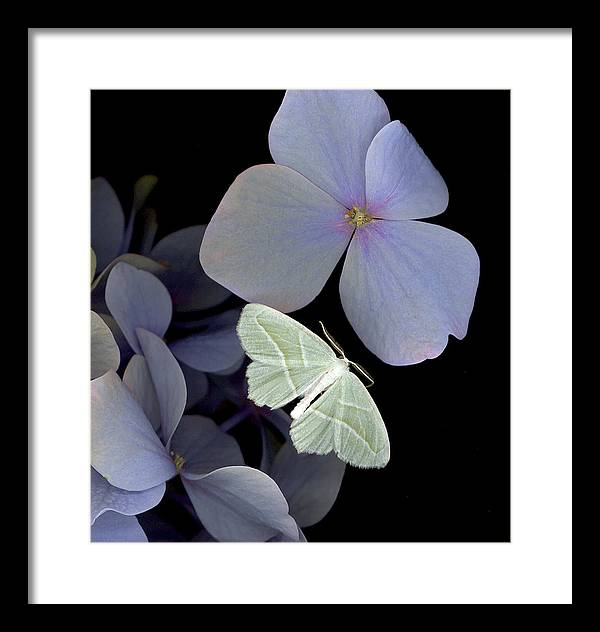 Framed Print featuring the photograph The Night Moth by Sandi F Hutchins