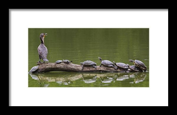 Doublecrestedcormorant Framed Print featuring the photograph The Turtle King by Michael Castellano