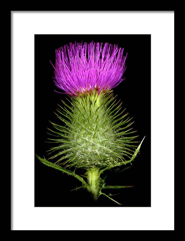 Framed Print featuring the photograph Thistle by Sandi F Hutchins