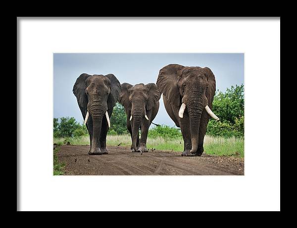 Toughness Framed Print featuring the photograph Three Big Elephants On A Dirt Road by Johansjolander