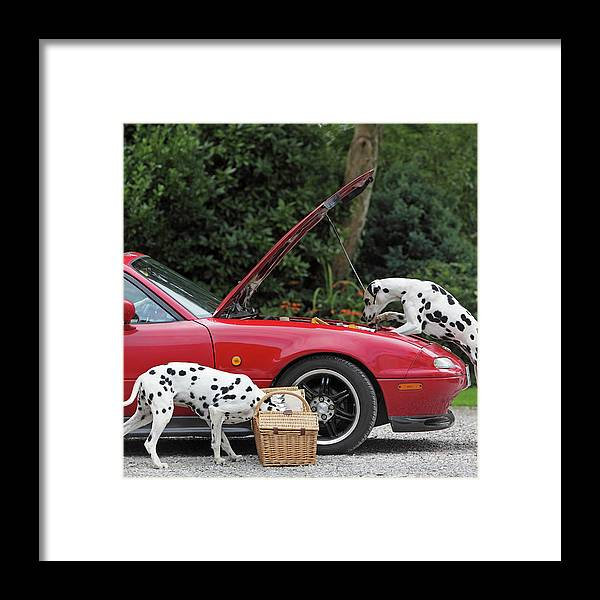 Pets Framed Print featuring the photograph Three Dalmatians Around Red Sports Car by Peter Cade
