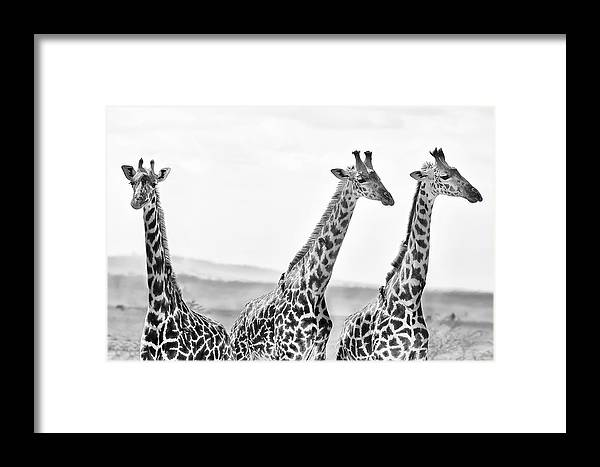 3scape Framed Print featuring the photograph Three Giraffes by Adam Romanowicz