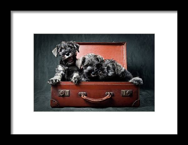 Pets Framed Print featuring the photograph Three Miniature Schnauzer Puppies In by Steve Collins / Momofoto