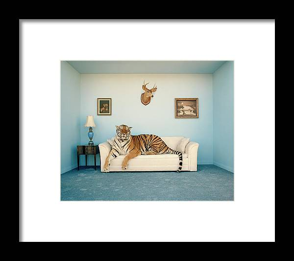 Pets Framed Print featuring the photograph Tiger On Sofa Under Animal Trophy by Matthias Clamer