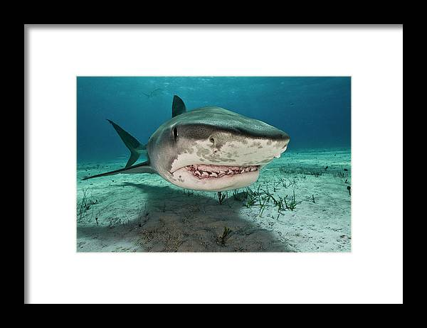 Underwater Framed Print featuring the photograph Tiger Sharks Galeocerdo Cuvier Are by Rodrigo Friscione