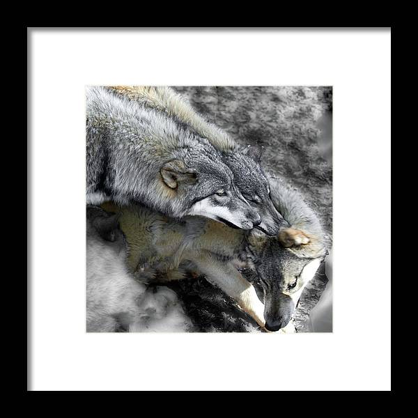 Wolf Framed Print featuring the photograph Timber Wolves Up Close by Jeannee Gannuch