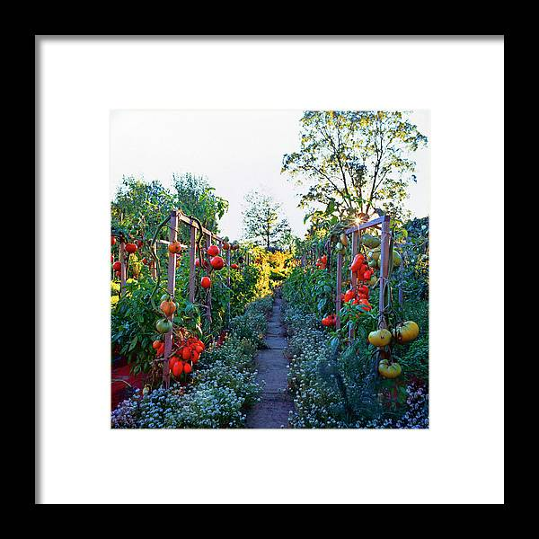 Community Garden Framed Print featuring the photograph Tomatoes On Frames by Richard Felber