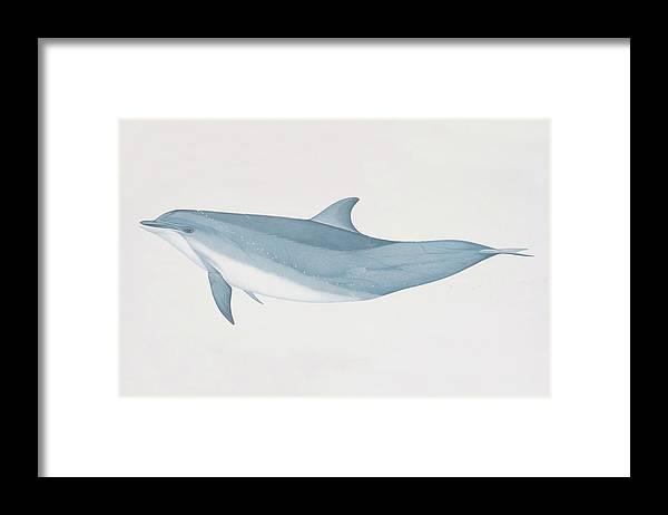 White Background Framed Print featuring the digital art Tursiops Truncatus, Bottlenose Dolphin by Martin Camm