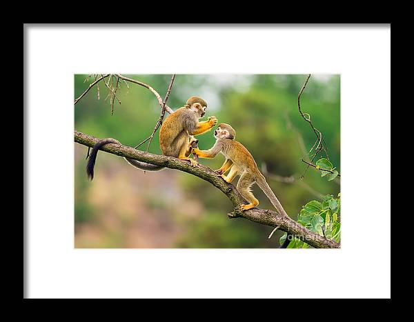 Small Framed Print featuring the photograph Two Common Squirrel Monkeys Saimiri by Nick Fox
