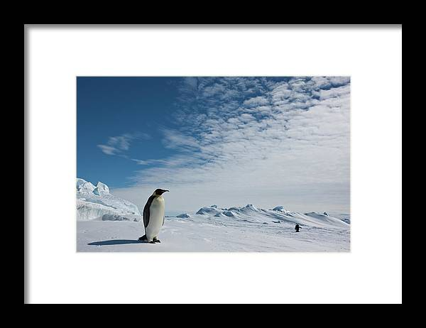 Emperor Penguin Framed Print featuring the photograph Two Emperor Penguins by A Gandola