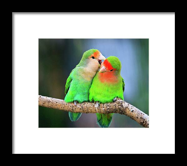 Togetherness Framed Print featuring the photograph Two Peace-faced Lovebird by Feng Wei Photography