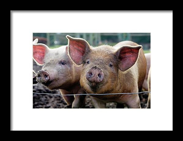 Pig Framed Print featuring the photograph Two Pigs On Farm by Charity Burggraaf