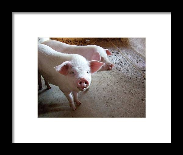 Pig Framed Print featuring the photograph Two Pigs by Shinichi.imanaka