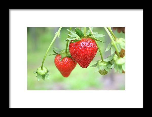 Juicy Framed Print featuring the photograph Two Ripe Red Strawberries On The Vine by Hohenhaus