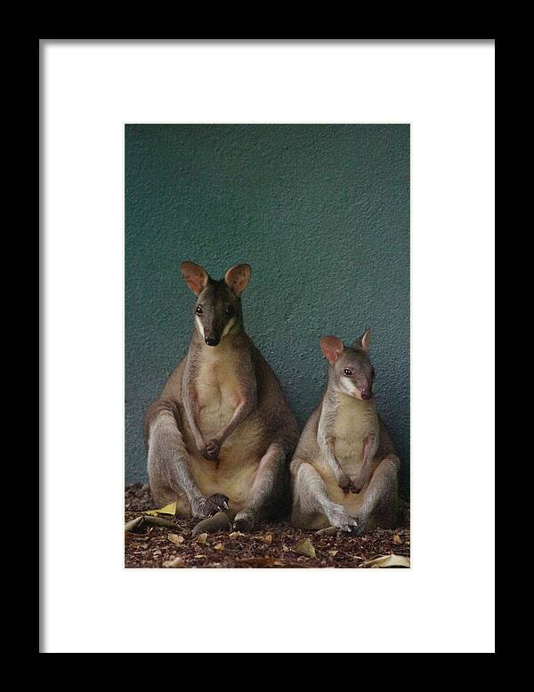 Animal Themes Framed Print featuring the photograph Two Sitting Wallabies by Ming Thein / Mingthein.com