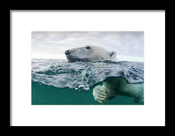 Paw Framed Print featuring the photograph Underwater Polar Bear In Hudson Bay by Paul Souders