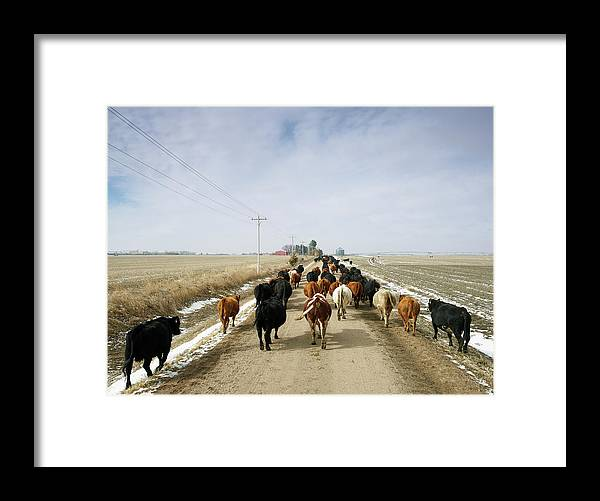 Cattle Drive Framed Print featuring the photograph Usa, Nebraska, Great Plains, Herd Of by John Kelly