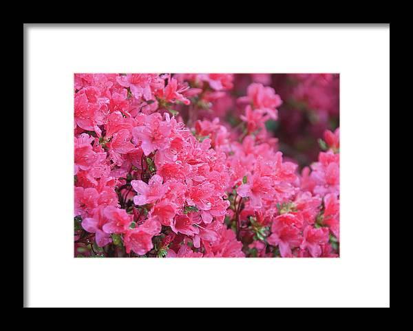 North Carolina Framed Print featuring the photograph Usa, North Carolina, Asheville, Azalea by Dkar Images