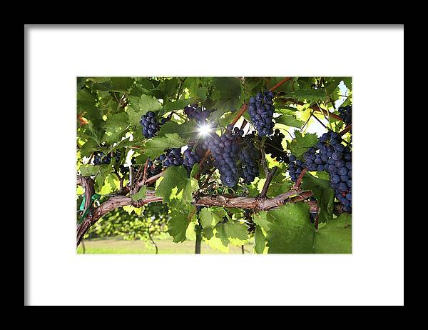 Scenics Framed Print featuring the photograph Vineyard Wine Grapes by Georgepeters