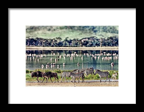 Game Framed Print featuring the photograph Vintage Style Image Of Zebras And by Travel Stock