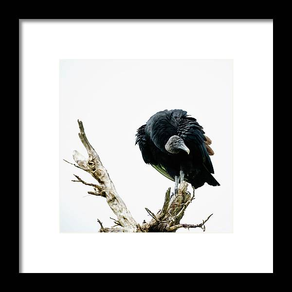 Animal Themes Framed Print featuring the photograph Vulture Perched On Tree by Roine Magnusson