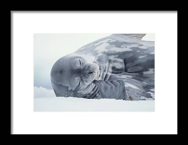 One Animal Framed Print featuring the photograph Weddell Seal Leptonychotes Weddellii by Eastcott Momatiuk
