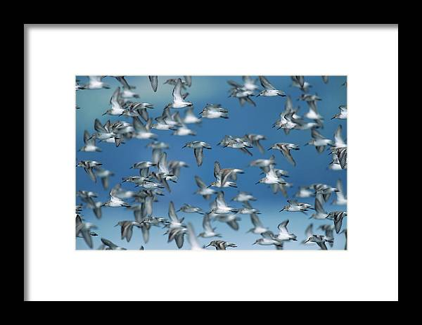 Animal Themes Framed Print featuring the photograph Western Sandpipers Calidris Mauri by Eastcott Momatiuk