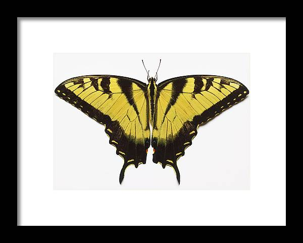 White Background Framed Print featuring the photograph Western Tiger Swallowtail Butterfly by Don Farrall