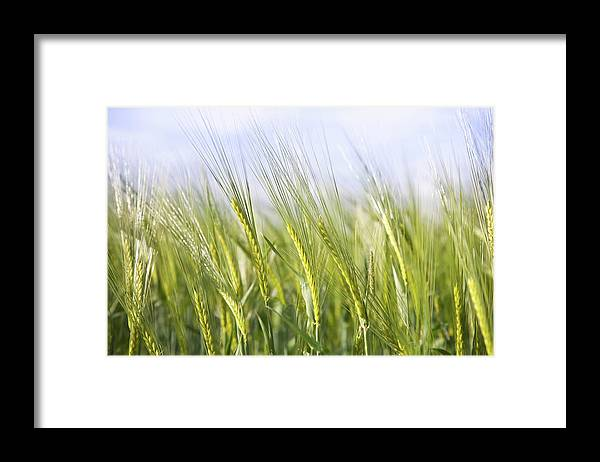 Scenics Framed Print featuring the photograph Wheat Field by Peter Chadwick Lrps