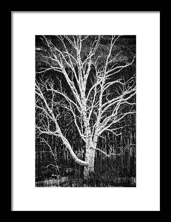 White Birch Framed Print featuring the photograph White Birch by Trevor Slauenwhite