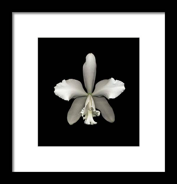 Black Background Framed Print featuring the photograph White Cattleya Orchid Cattleya Sp by Mike Hill