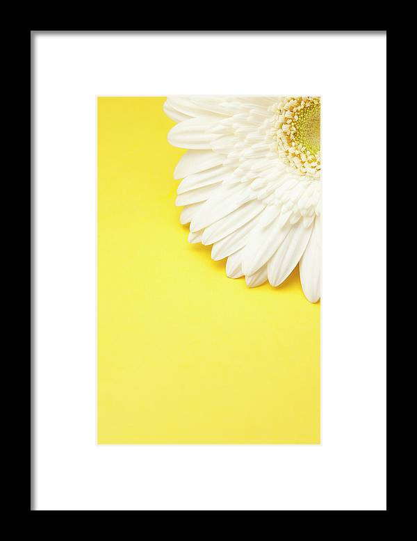 Petal Framed Print featuring the photograph White Gerbera Daisy With Yellow by Jill Fromer