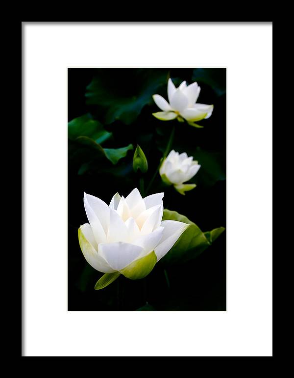 White Lotus On Black Background Framed Print By Chainline