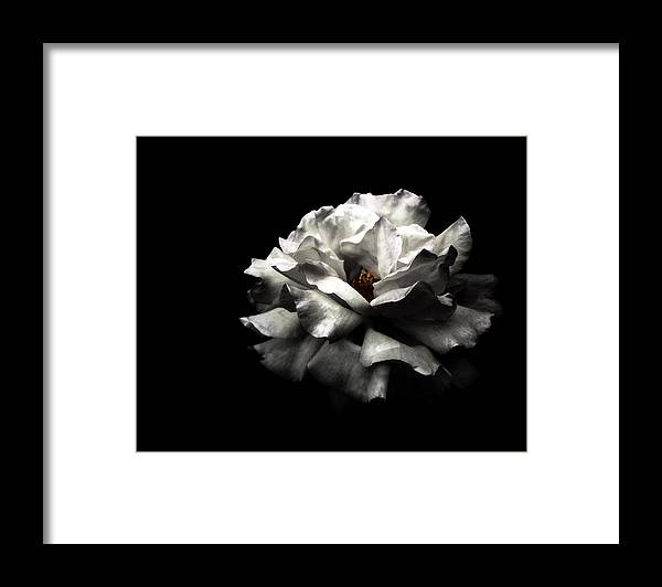 Black Background Framed Print featuring the photograph White Rose by Lola L. Falantes