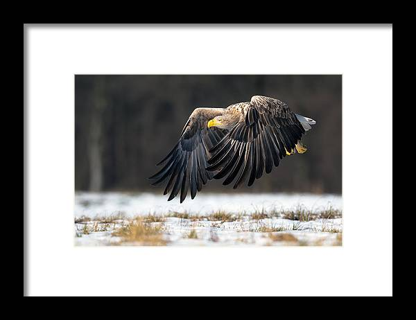 Framed Print featuring the photograph White-tailed Eagle by Piotr Wrobel