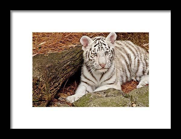 White Tiger Framed Print featuring the photograph White Tiger Cub by Empphotography