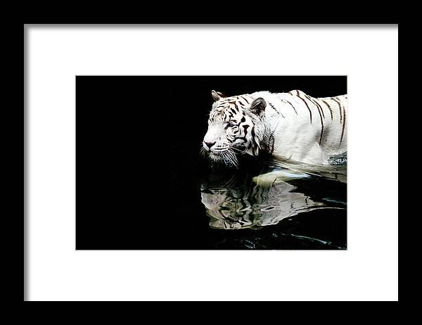 Three Quarter Length Framed Print featuring the photograph White Tiger In Water by Carlina Teteris