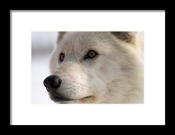 Wolf Framed Print featuring the photograph White Wolf Color by Gordon Semmens