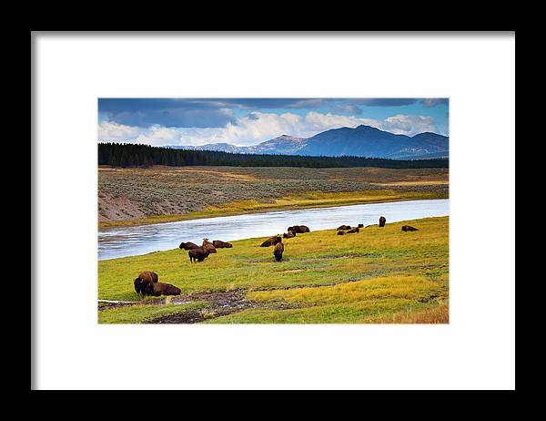 Scenics Framed Print featuring the photograph Wild Bison Roam Free Beneath Mountains by Jamesbrey
